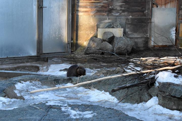 Beaver in Ranua Zoo