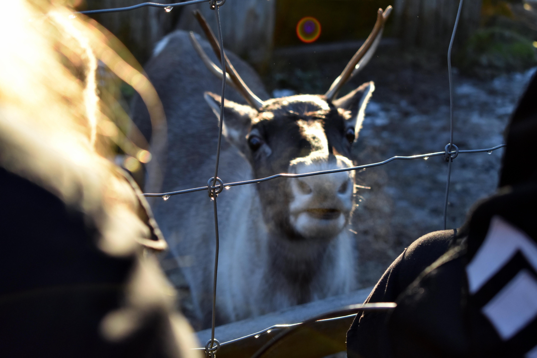 Reindeer in Ranua Zoo
