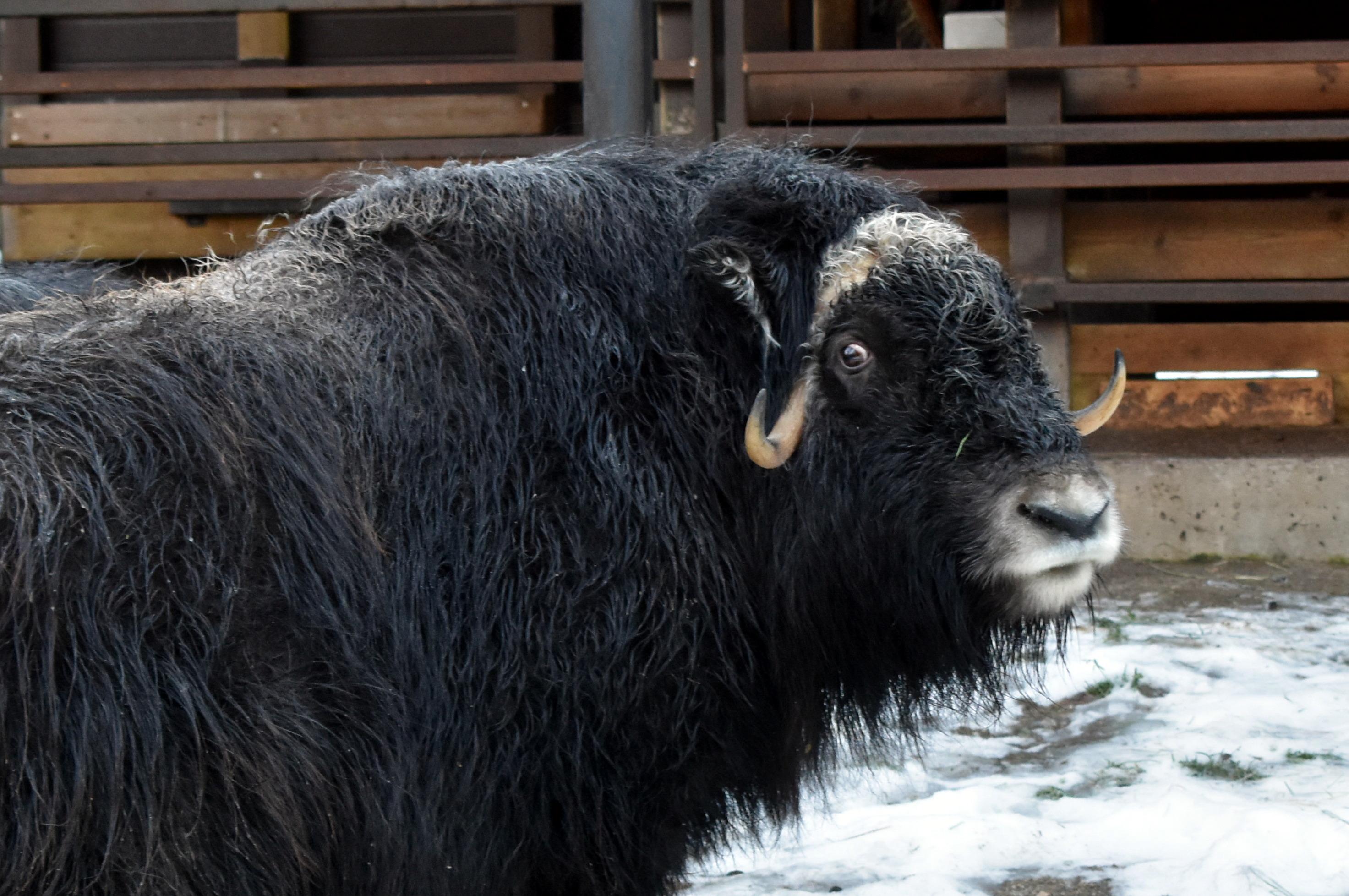 Musk ox