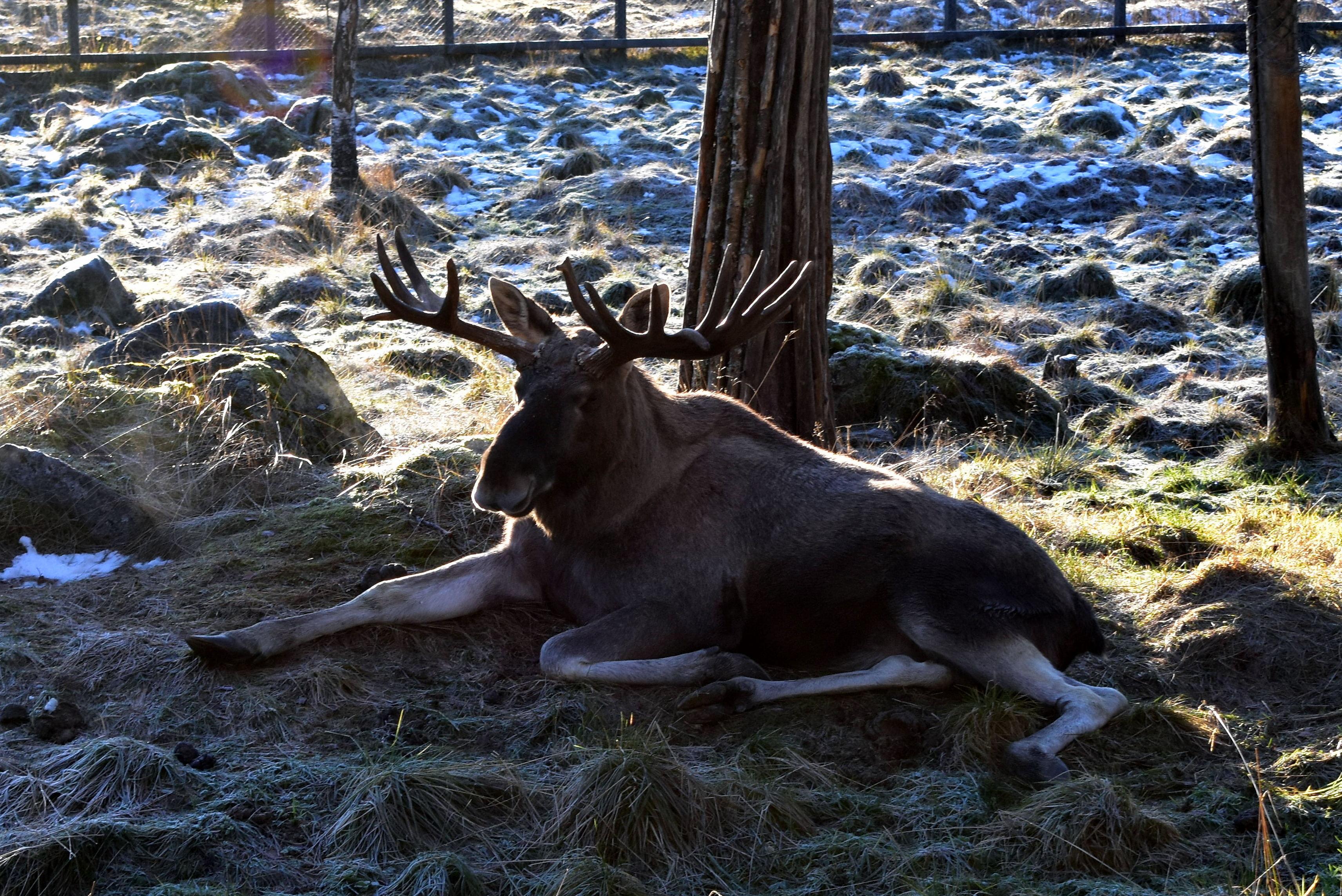 Moose at Ranua Zoo