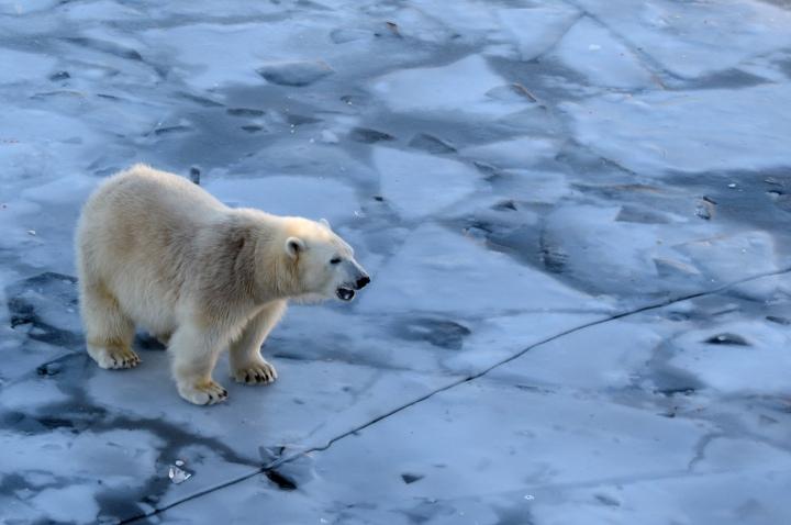 Polar bear Sisu Ranuar Zoo