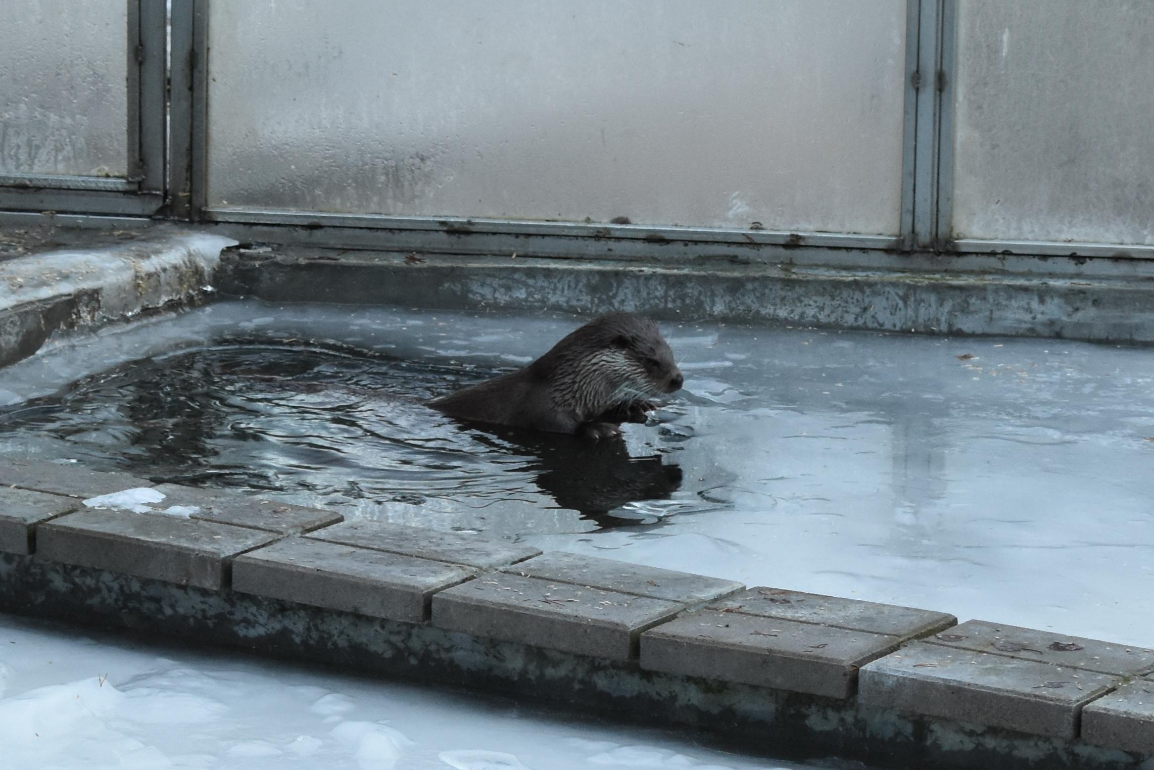 Otter at Ranua Zoo